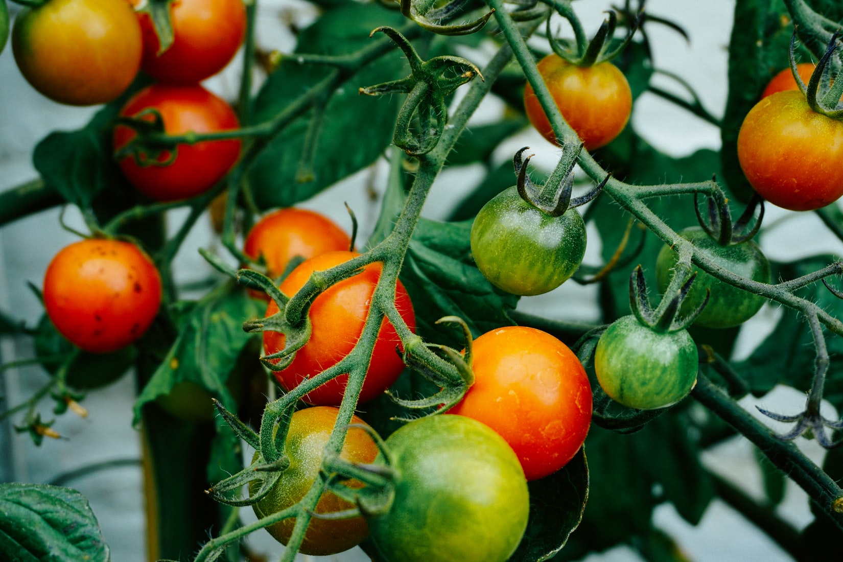 Ripe Tomatoes from a Garden Farm